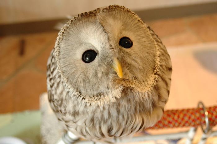 まるでぬいぐるみのような姿をしたフクロウと触れ合いながら過ごす時間は、至福のひとときです。可愛らしい大きな丸い瞳でじっと見つめられるだけで、心が癒され、幸せな気分になれると思いませんか。
