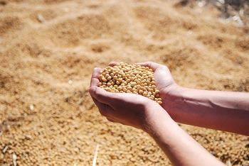 みなさんは、油揚げってなにからできているかご存知ですか? 実は油揚げの原料は、大豆。 「畑のお肉」ともいわれる栄養豊富な大豆からできているんです。
