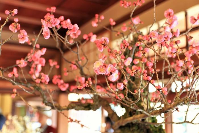 滋賀県における初春の風物詩、長浜盆梅展は、滋賀県長浜市で開催される、梅の盆栽の展示会です。長浜盆梅展で展示されている盆梅は、梅林さながらの見ごたえがあります。