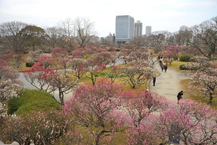 福岡城の跡地に造られた都市公園、舞鶴公園には紅梅、白梅、枝垂梅など約280本の梅の木が植栽されています。紅梅、白梅、枝垂梅が開花すると、梅園内は桃色のグラデーションに染まり、舞鶴公園では絵画のような景色が広がります。