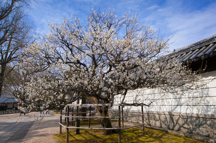 1621年に創建された梅林寺は、臨済宗妙心寺派の寺院です。「梅林禅寺(ばいりんぜんじ)」との異名を持つ梅林寺の外苑には、約30種類500本に及ぶ梅が植栽されています。梅の開花時期になると、梅林寺外苑は、梅の香りに包まれ大勢の花見客で賑わいます。
