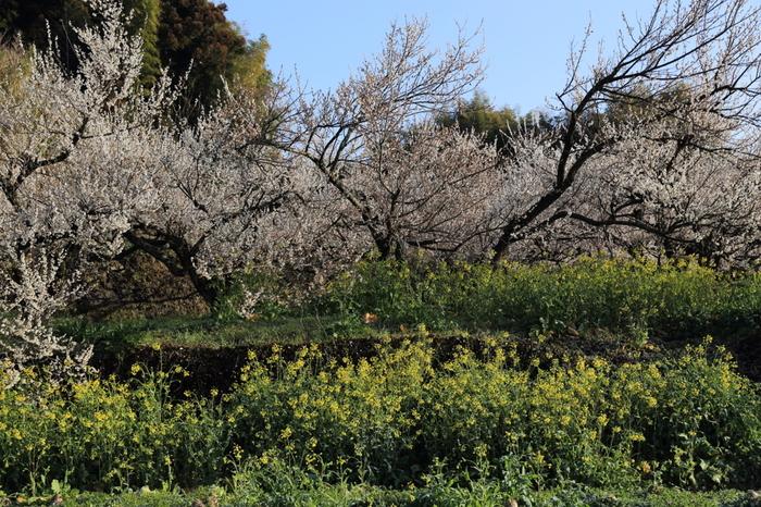 豊かな自然に囲まれた谷川梅林では、梅だけでなく菜の花も梅と同じ時期に見頃を迎えます。黄色の菜の花が、淡桃色に染まった梅林の美しさを引き立て、谷川梅林ではどこを切り取っても絵になる景色が広がっています。