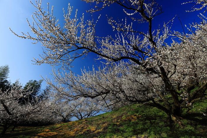 谷川梅林は福岡県の南部に位置する広大な梅林で、白梅を中心とした約3万本もの梅の木が植栽されています。
