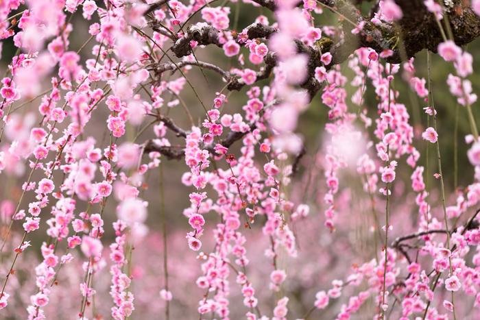 桃色に染まった枝垂梅の下に立ちながら少し目線を上げてみましょう。美しく咲き誇った可憐な梅の花が目の前いっぱいに広がる様子は、まるで春そのものが舞い降りたかのうようです。