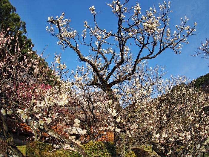 境内には、駒止、肥後、飛梅、皇后梅、雲井など約200品種6000本に及ぶにも及ぶ梅が植えられています。