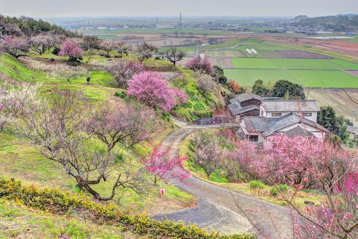 牛尾山に広がる広大な梅林、牛尾梅林には、里姫、白佐賀といった梅の木が約7000本植栽されています。梅の実を収穫するために生産者によって選定された牛尾梅林は、手入れが行き届いており、美しい里山の風景と見事に調和しています。