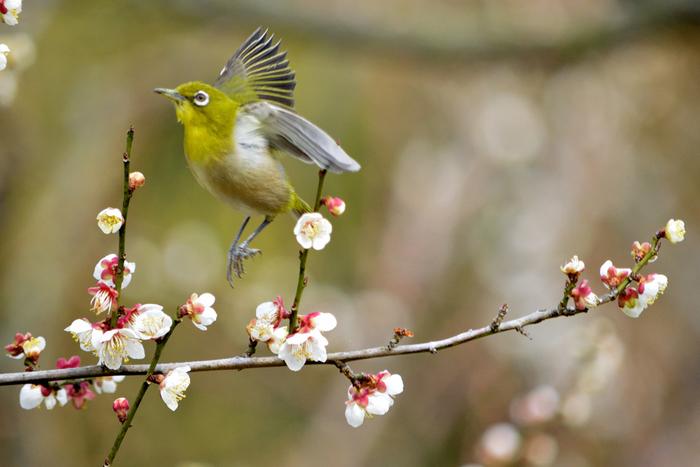 甘い蜜を求めて梅林にやってくる黄緑色のメジロの姿は、淡い色をした梅の花の美しさを引き立てています。