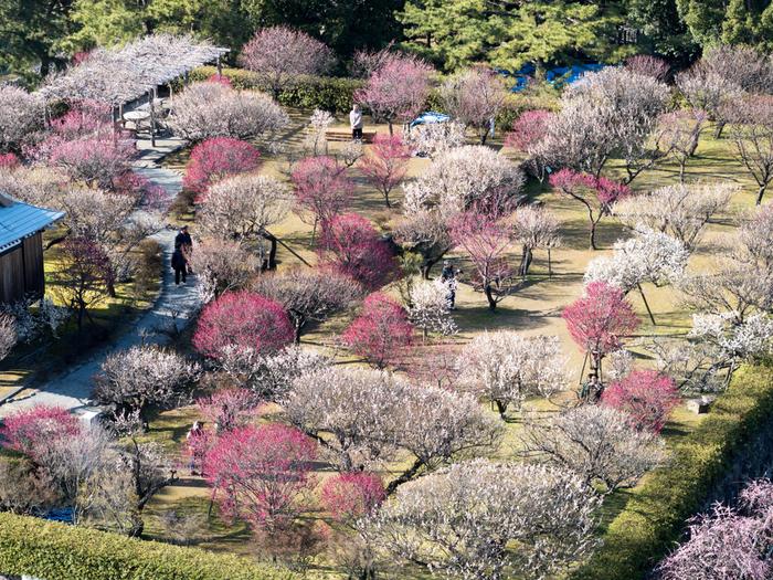 天守閣から臨む梅林の美しさは傑出しています。紅梅、白梅が交互に咲き誇る様は、大地に梅のパッチワークを敷き詰めたかのようです。
