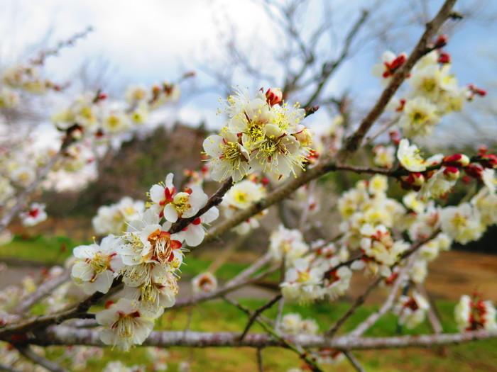約450本の梅が植栽されている吉野梅園は、大分県を代表する梅の名所として知られています。毎年2月上旬から3月上旬にかけて梅が見頃を迎え、大勢の花見客で賑わいます。