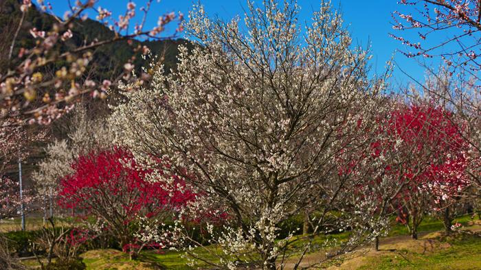 山口県萩市にある萩往還梅林園は、平成4年3月27日に開園した比較的新しい梅林です。