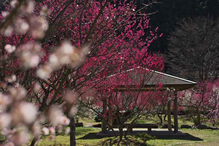 梅園には、約300本11品種の梅の木が植栽されており、梅の開花時期になると園内は、桃色のグラデーションに染まります。