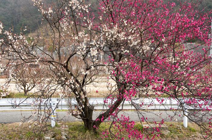 約10種類1000本の梅が植栽されている静かな山の頂に広がる梅林で、ゆったりと時間の流れを忘れながらお花見を楽しんでみるのもおすすめです。