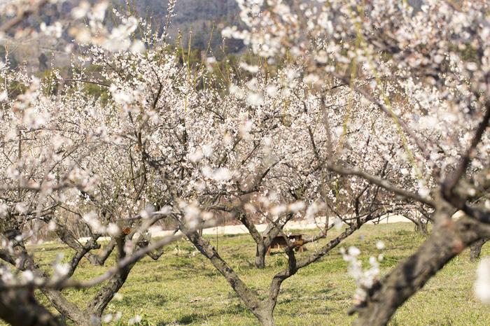 広島県三原市の山間部に広がる満汐梅林は、一目で視界に1000本の梅が入り込む「一目千本」の梅が咲き誇る梅林です。