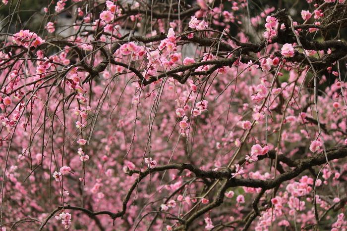 淡いピンク色をした花びらが折り重なる枝垂梅が満開に花を咲かせる様子は、まるで梅の木の天女の羽衣のようです。