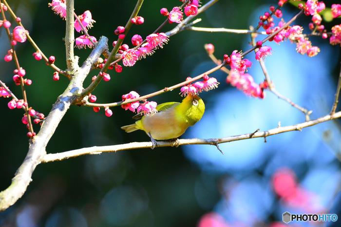 梅林では、梅の蜜を求めてやってきた可愛らしいメジロの姿を見かけることができます。
