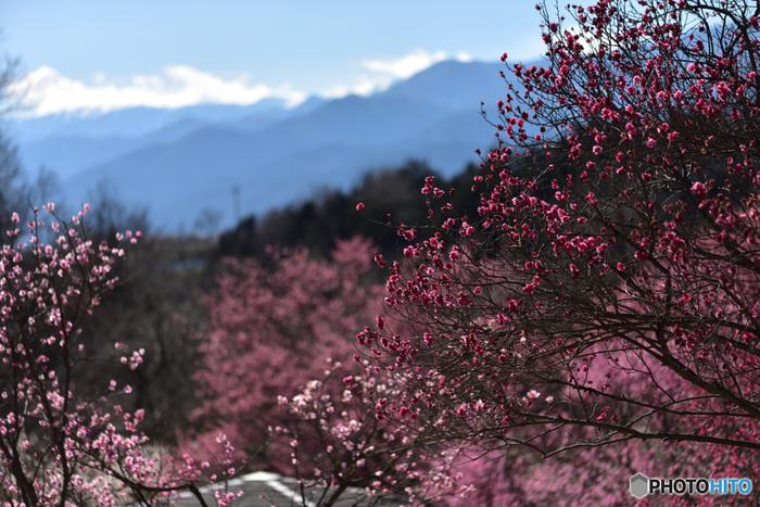 津山市神代・梅の里公園は、敷地面積約4万平方メートルの広大な公園です。山の頂へと続く道沿いには、約2000本もの梅が植栽されており、山里の美しい風景に華を添えています。