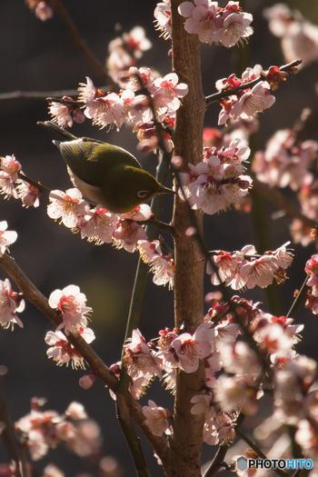 明谷梅林では、毎年、梅の花が見頃を迎える頃になると「明谷梅林まつり」が開催されます。梅林には花見鑑賞に訪れた人々だけでなく、梅の蜜を求めてやってきた愛らしいメジロの姿を見かけることもあります。