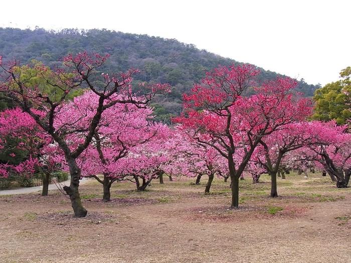 冬至梅、紅梅系、野梅系、豊後系といった様々な種類の梅が、次々に開花し、特別名勝の庭園を桃色のグラデーションで包みこむ様子は、まるで一枚の絵画のような素晴らしさです。