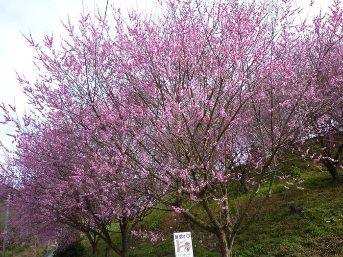 愛媛県 伊予郡 砥部町の特産品でもある七折小梅の生産地、七折梅林では、約1万6000本の梅が植栽されており、毎年2月下旬から3月上旬頃になると見頃を迎えます。