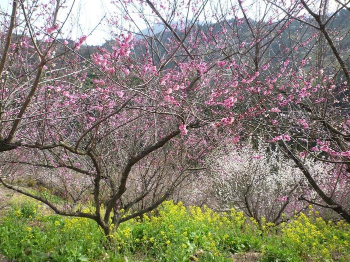 七折梅園では、毎年、梅の開花時期になると「七折梅まつり」が開催されます。七折梅まつり期間には、満開に花を咲かせた梅を観るために大勢の花見客でにぎわいます。