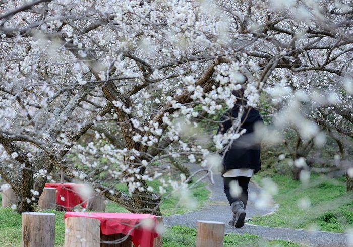 「高知市の奥座敷」と呼ばれる土佐山の嫁石地区にある梅林「土佐山嫁石の梅園」では、花梅、白加賀、けさきなどを中心とした梅約1200本が植栽されています。梅が見頃を迎える2月下旬から3月下旬にかけて「嫁石梅まつり」が開催されます。