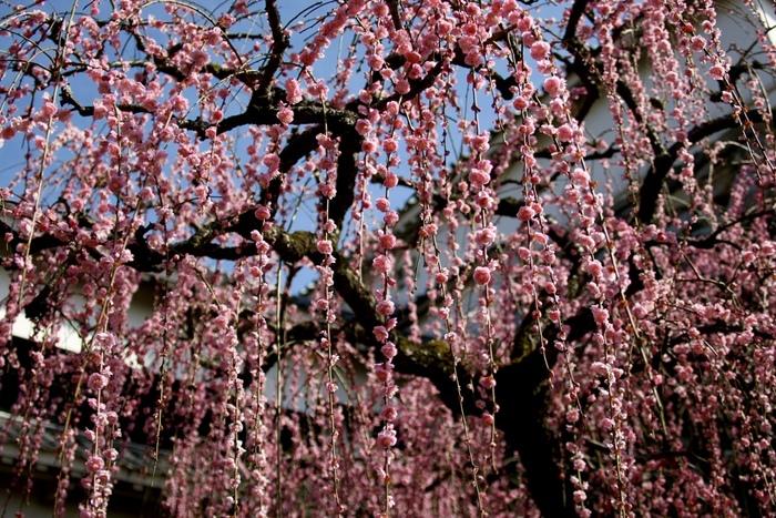 公園として開放されている高知城では、約196本の梅が植栽されています。桃色の花をいっぱいに開花させた枝垂梅の下に立ってみると、まるで春そのものが舞い降りたかのような気分を味わうことができます。