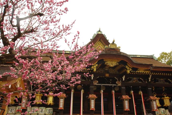 学問の神様、菅原道真公を祀る北野天満宮には約50品目、1500本の梅が植栽されております。梅園の梅が満開に開花する2月25日には毎年「梅花祭」が開催され、大勢の参拝者で賑わいます。