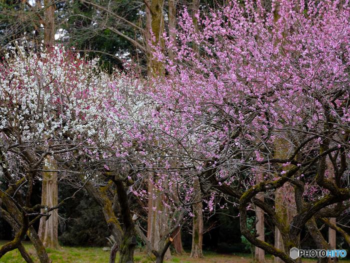 1924年に開演された京都府立植物園では、約60品種の梅が植栽されています。約150本の紅梅と白梅が競うように花を咲かせ、梅園内は梅の甘い香りが漂います。