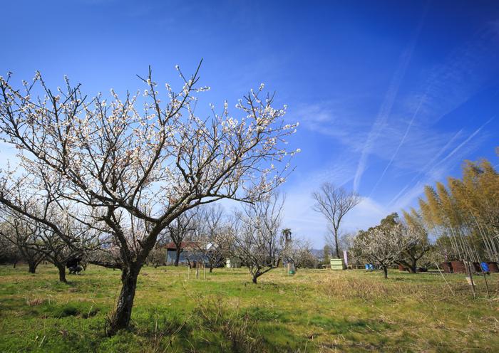 青谷梅園は、梅の産地として名高い京都府城陽市にある梅園で、京都府最大の面積を誇ります。なだらかな丘陵地帯には、よく手入れされた栽培梅が約10000本植栽されている様は圧巻です。