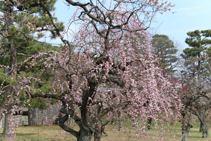 世界遺産・二条城は、徳川幕府初代将軍、徳川家康によって築城され、大政奉還の場になった場所で、江戸幕府の栄枯盛衰を見届けた城です。城内には紅梅、白梅、桃色梅、しだれ梅、源平咲き分けなど約130本の梅が植栽されており2月下旬から3月上旬頃にかけて見頃を迎えます。