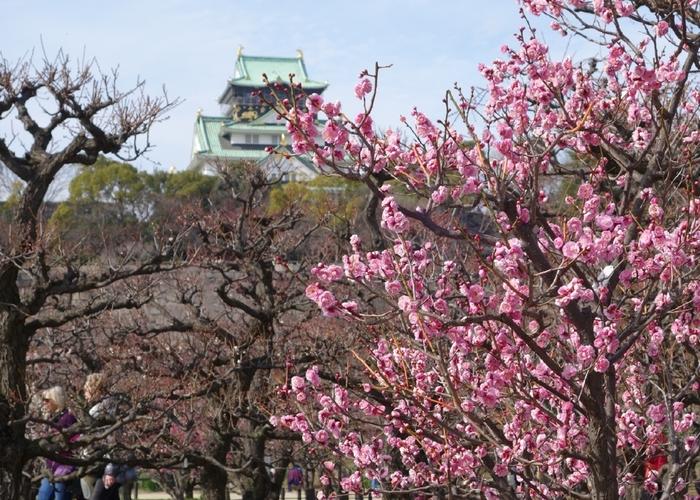 約17000平方メートルの梅林に、1270本の梅が植栽されている大阪城は、大阪を代表する梅の名所です。大阪城天守閣を背景に、満開の梅が咲き誇る様は、日本画のような素晴らしさです。