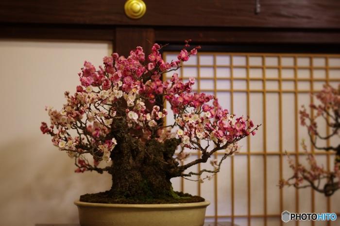 梅が見頃を迎える頃、鉢植えの梅が見事に開花した「盆梅展」も開催されるので、梅林と一緒に鑑賞してみてはいかがでしょうか。