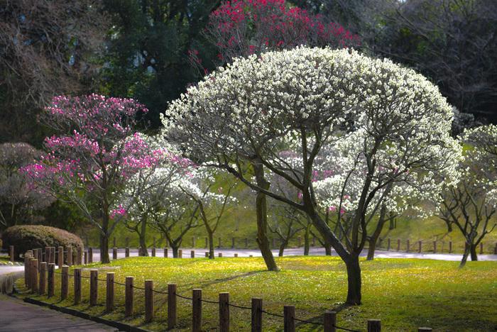 白加賀、月宮殿、紅千鳥、浮牡丹など、珍しい種類の梅がたくさんあることで知ら得ている荒山公園では、50品種、約1400本の梅が植栽されています。公園内では、早咲き、中咲き、遅咲きの梅が次々と見頃を迎え、2月中旬から3月上旬頃が梅林鑑賞のベストシーズンとなります。