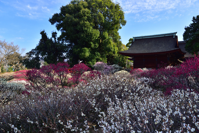 古くから梅の名所として知られている道明寺天満宮では、梅の開花時期に合わせて「道明寺天満宮梅まつり」が開催され、野外茶会、盆梅展、奉納行事など様々な催しが行われます。