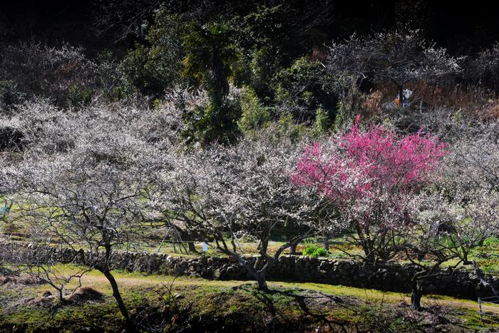 大阪南部の山間部に位置する金熊寺梅林は、古くから梅の名所として知られており、約270年前から梅が植えられ続けています。