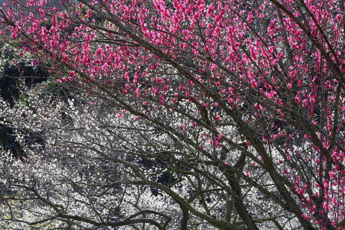 梅が見頃を迎える時期になると、約2000本に及ぶ紅梅と白梅が競うように開花します。紅白の梅が、交互に咲き誇る様子を眺めていると、まるで天女の羽衣が大地に舞い降りたかのような錯覚を感じます。