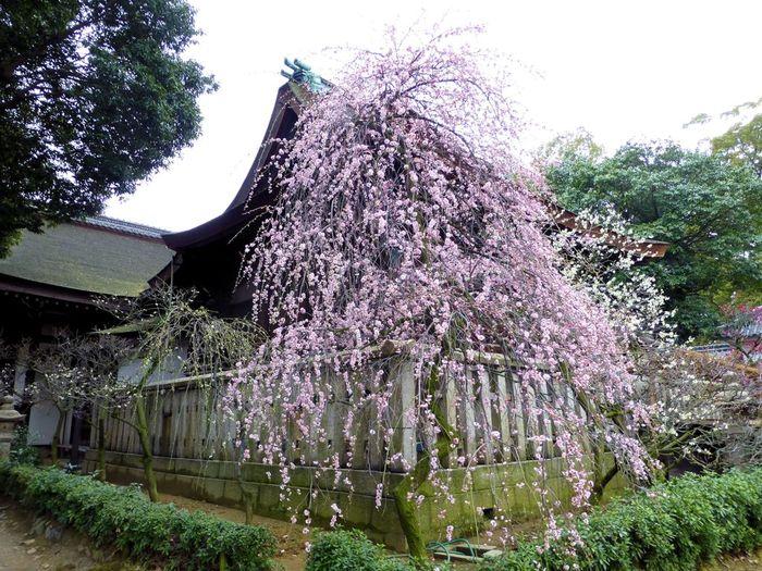 大阪府藤井寺市にある道明寺天満宮の境内には、約800本の梅が植栽された梅林があります。