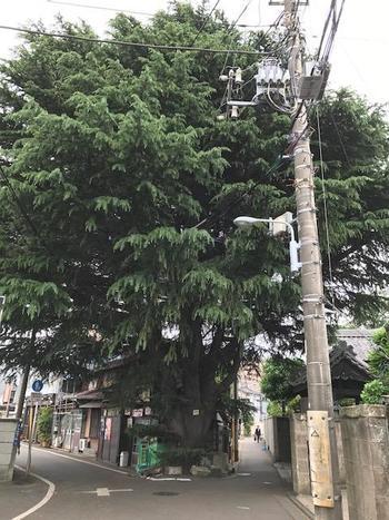谷中霊園の近くを歩いていると、突如現れる大木。高さは約20メートル、樹齢90年を越えるヒマラヤ杉です。町と共生しながら人々とその歴史を見守る町のシンボルになっています。