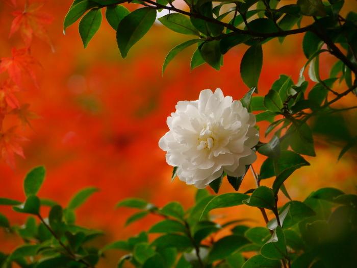 日本では、お正月の初日の出とともに「歳神様(としがみさま)」が現れるとされています。その由来は神道の「八百万」の神様であり、稲の豊作をもたらす神様であり、家を災いから守ってくれる先祖の霊ともいわれます。