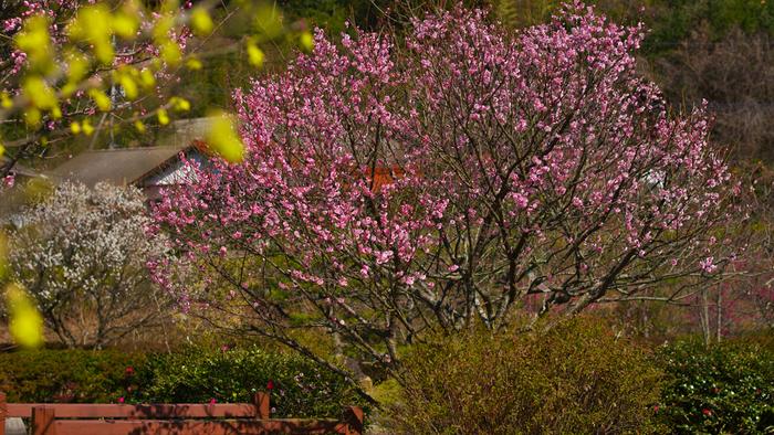 紅梅、白梅などが次々と競うように花を咲かせる様は、まるで私たちに春の訪れを告げているかのようです。