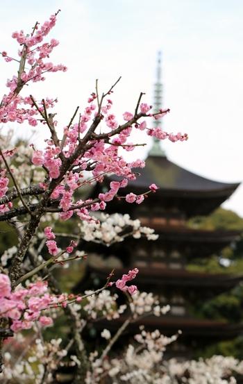 境内には約40本の梅が植栽されており、毎年2月中旬から3月上旬になると見頃を迎え、国宝に指定されている五重塔の美しさを引き立てています。