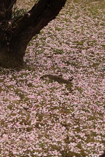 縮景園では、梅の開花時期が終わっても美しい景色を臨むことができます。舞い散った無数の梅の花びらが大地を覆い、桃色の絨毯を敷き詰めたような景色となります。