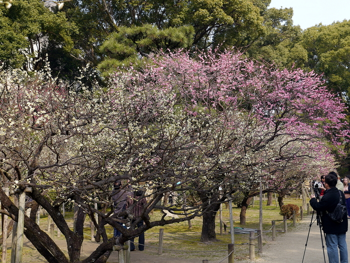 園内には、白梅、紅梅、蝋梅を中心とした17品種の梅が植栽されており、大勢の花見客で賑わいます。