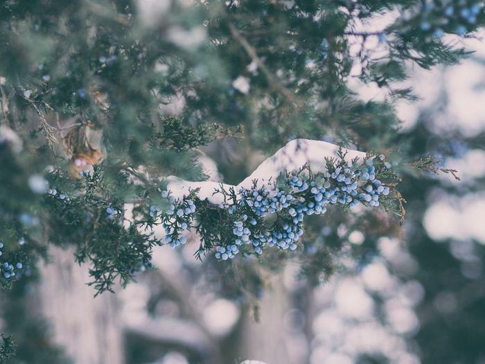 雪が降り、街の木々たちも少し重たそうに枝を下げるころ。 キーンと冴えわたる朝の寒さで、本格的な冬の訪れを肌で感じられるようになってきます。