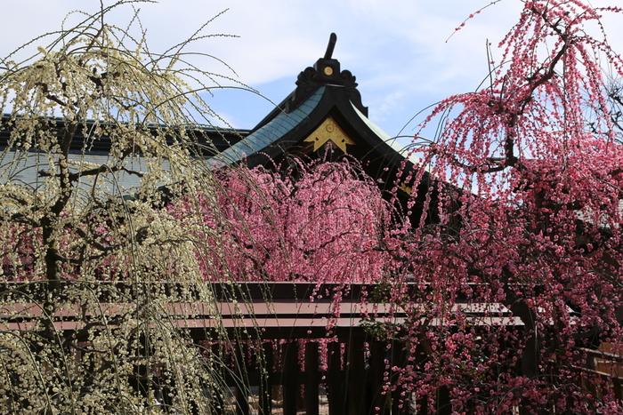 三重県の県庁所在地、津市に鎮座する結城神社は、三重県有数の梅の名所として知られています。