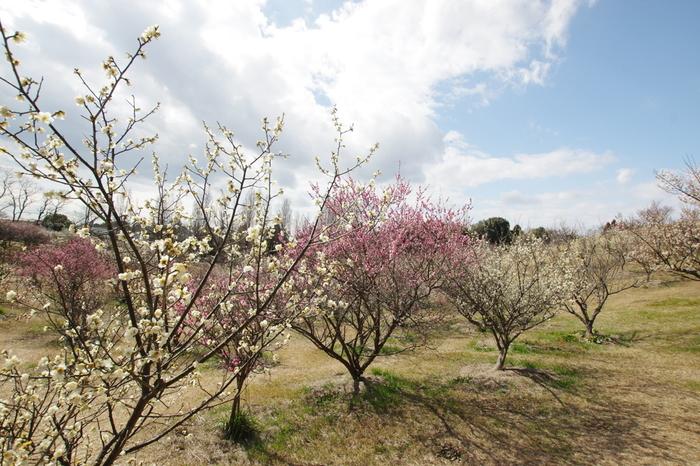 約16ヘクタールの敷地を誇る石ケ谷公園は、人々の憩いの場となっている公園です。公園内の梅園には、紅梅、白梅を中心として約1000本の梅が植えられており、毎年2月下旬から3月下旬にかけて見頃を迎えます。