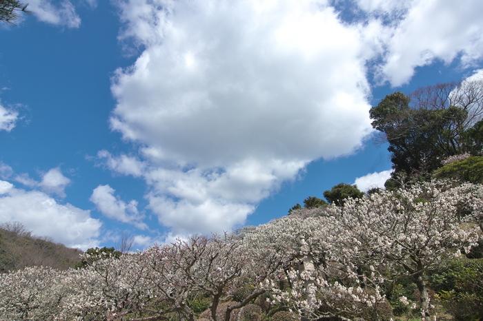 中山寺境内にある中山観音公園では、約1000本の梅が植栽されています。梅が見頃迎える頃、なだらかな傾斜面を梅の花が覆い、境内はまるで絵画のような風景となります。