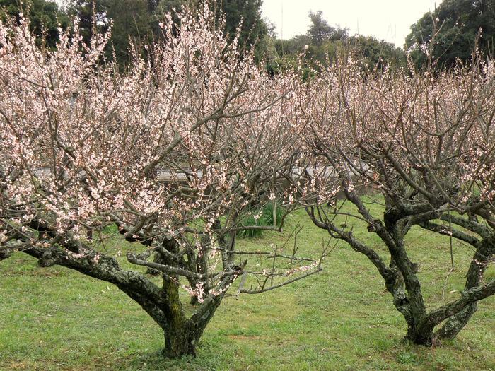 瀬戸内海に浮かぶ淡路島にある広田梅林では、南高、鶯宿、紅梅、枝垂梅など約450本の梅が植栽されています。梅が満開に花を咲かせる頃になると、梅林では甘い香りが漂います。