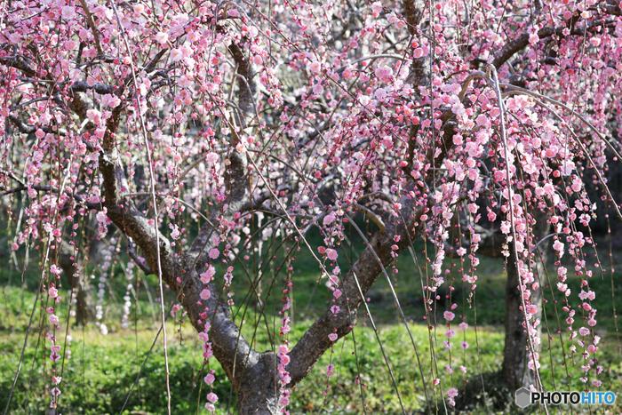 関西屈指の梅の名所として知られる月ヶ瀬梅林の梅園には、約1万本の梅が植栽されています。