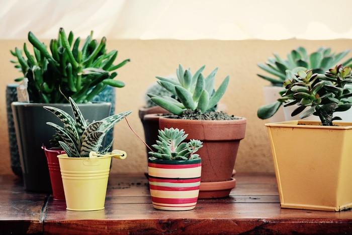 今やすっかり人気の植物、多肉植物。多肉植物とは、葉や茎、根に貯水することができる植物で、ほとんどが水で出来ています。見た目のぷっくりした愛らしさだけでなく、水やりの手間もあまりかからないので初心者さんにも育てやすい植物なんです。